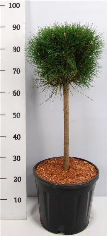 Pinus nigra 'Summer Breeze