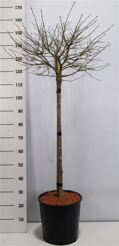 Euonymus alatus 'Compactus'